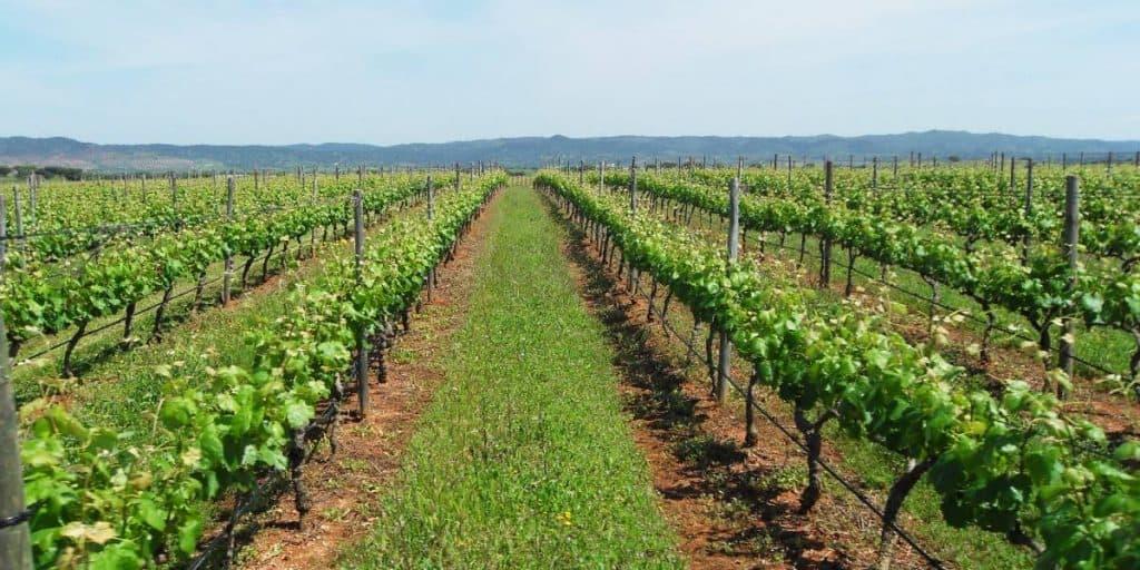 Weingärten am Weg nach Alentejo